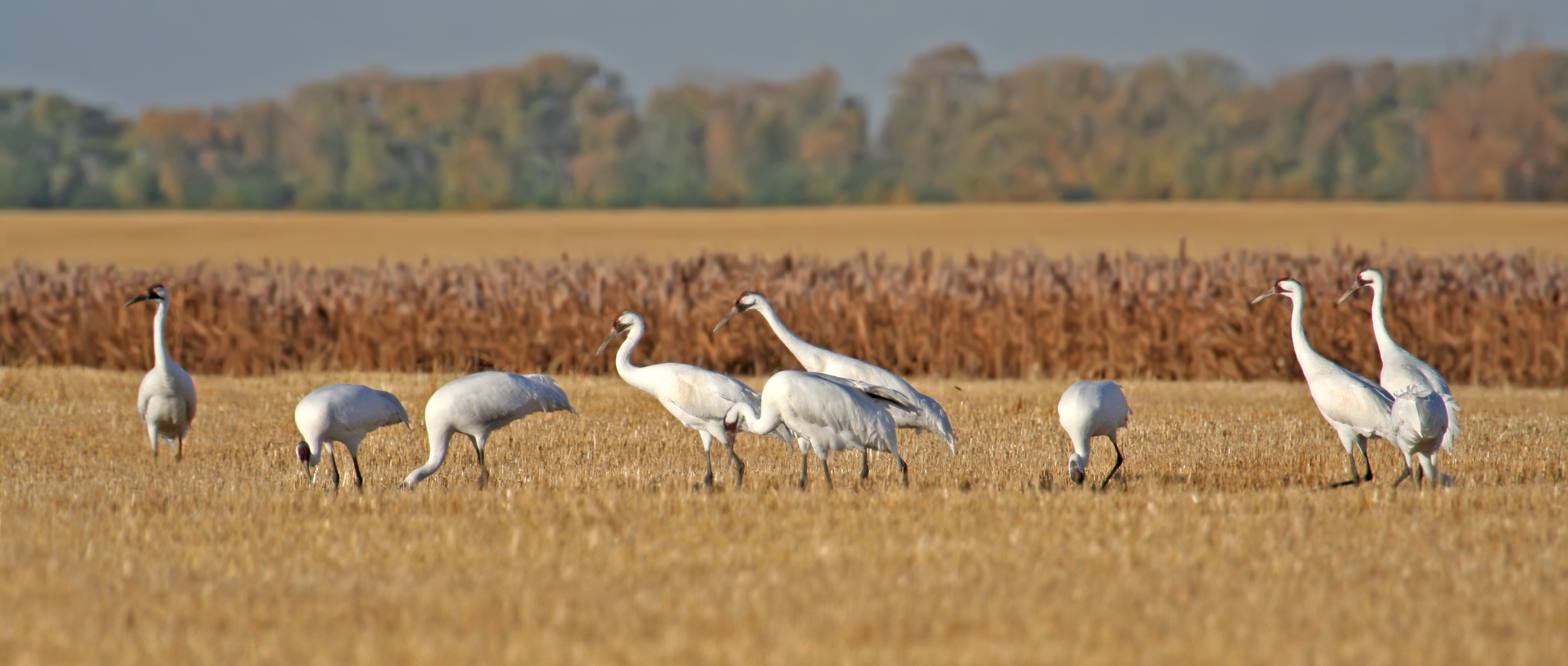 Whooping Cranes in grain field