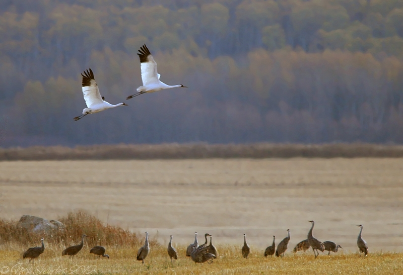 Whoopers and Sandhills