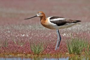 Watch for avocet during Chaplin Shorebirds Tour